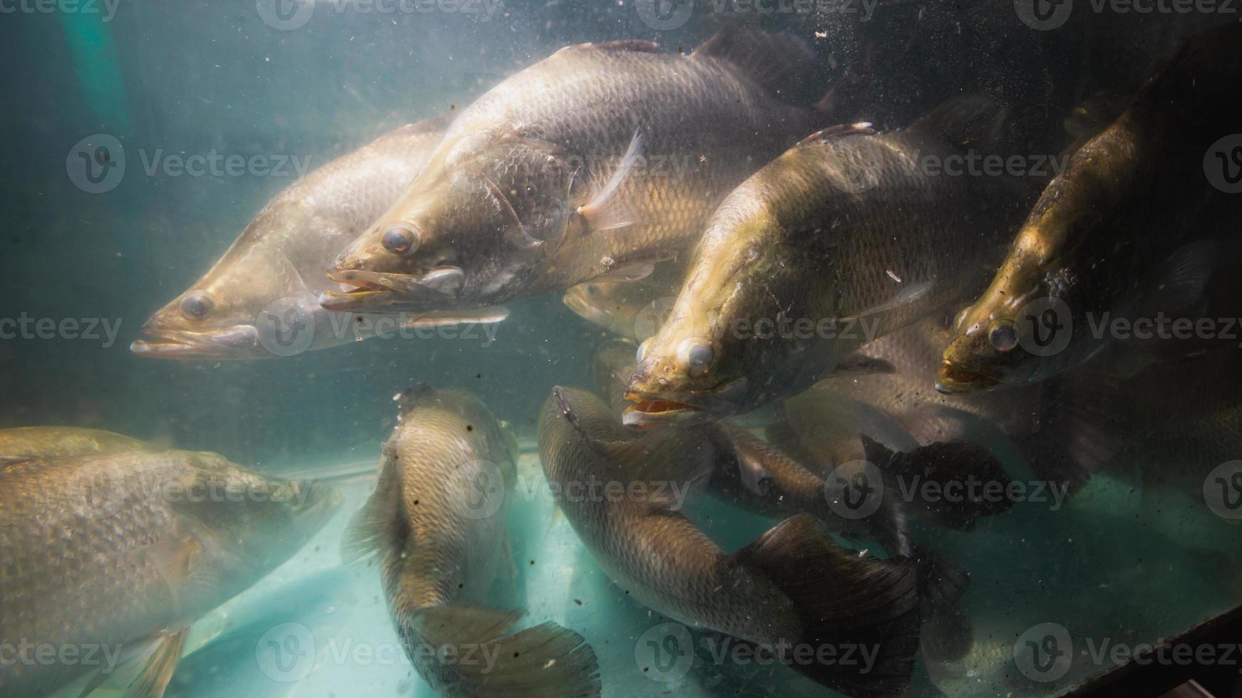 snapper vis in het aquarium foto