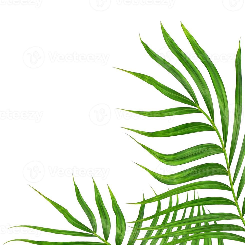 groen palmblad op wit foto