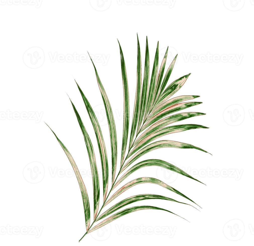 palmboom op witte achtergrond foto