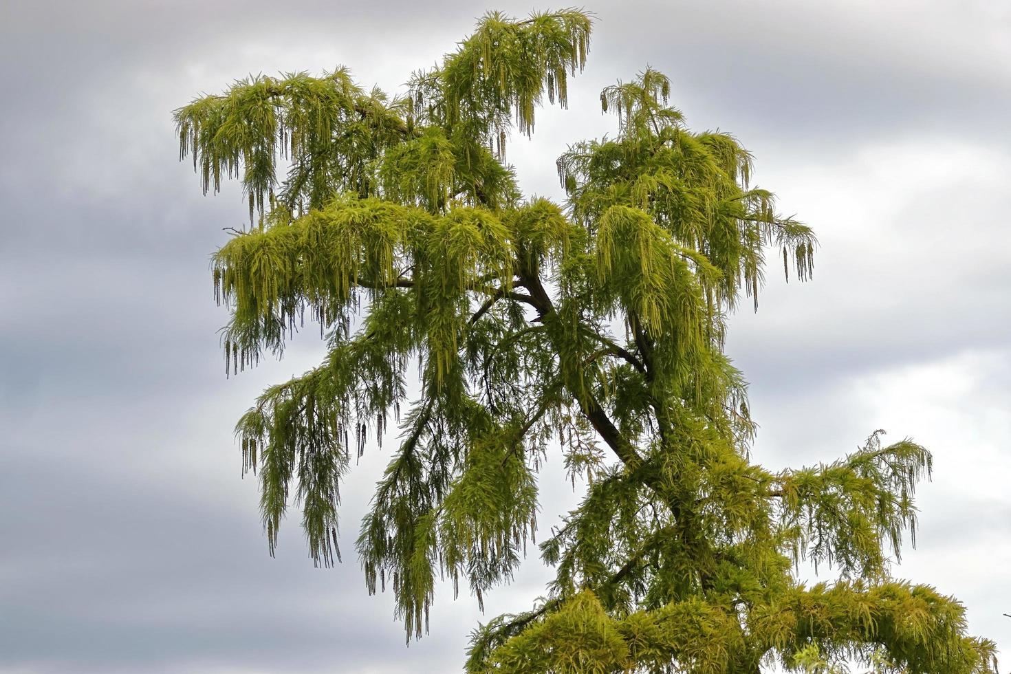 naaldboom top met groene bladeren en hangende vruchten op bewolkte hemelachtergrond foto