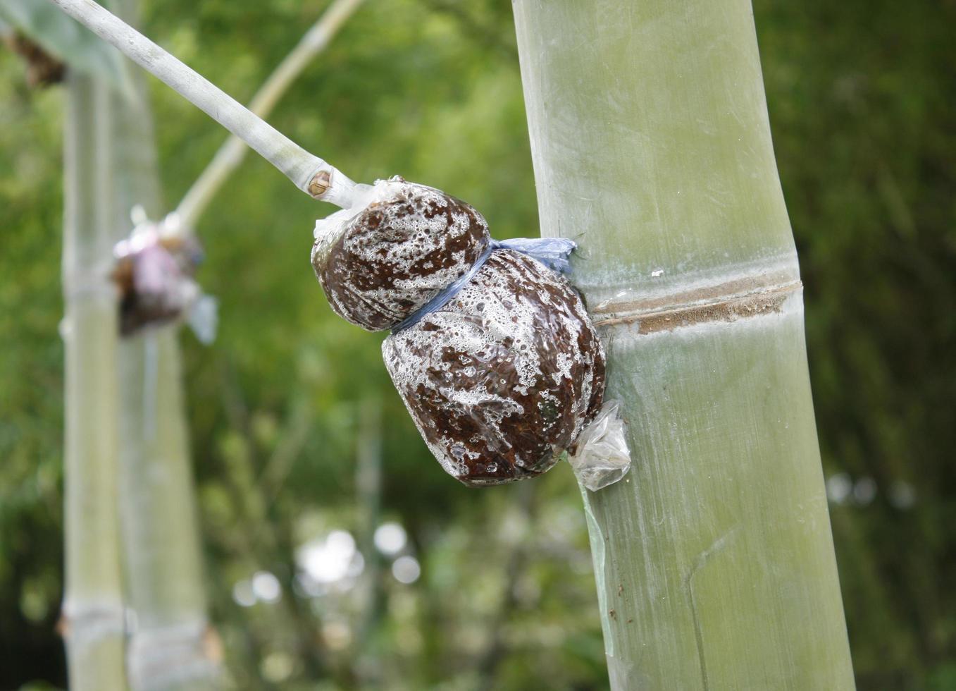bamboe transplantaat methode foto