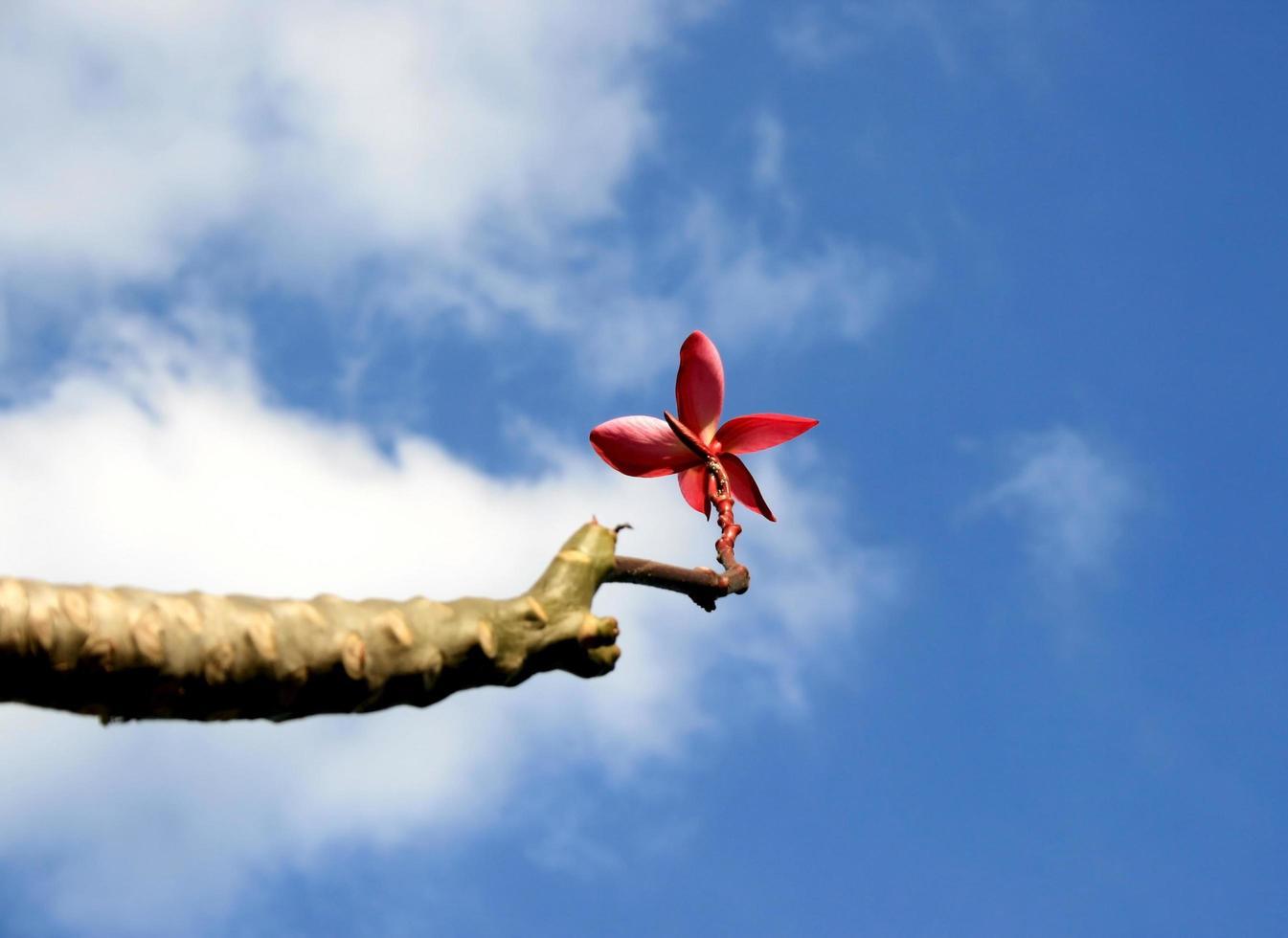 rode plumeria in de lucht foto