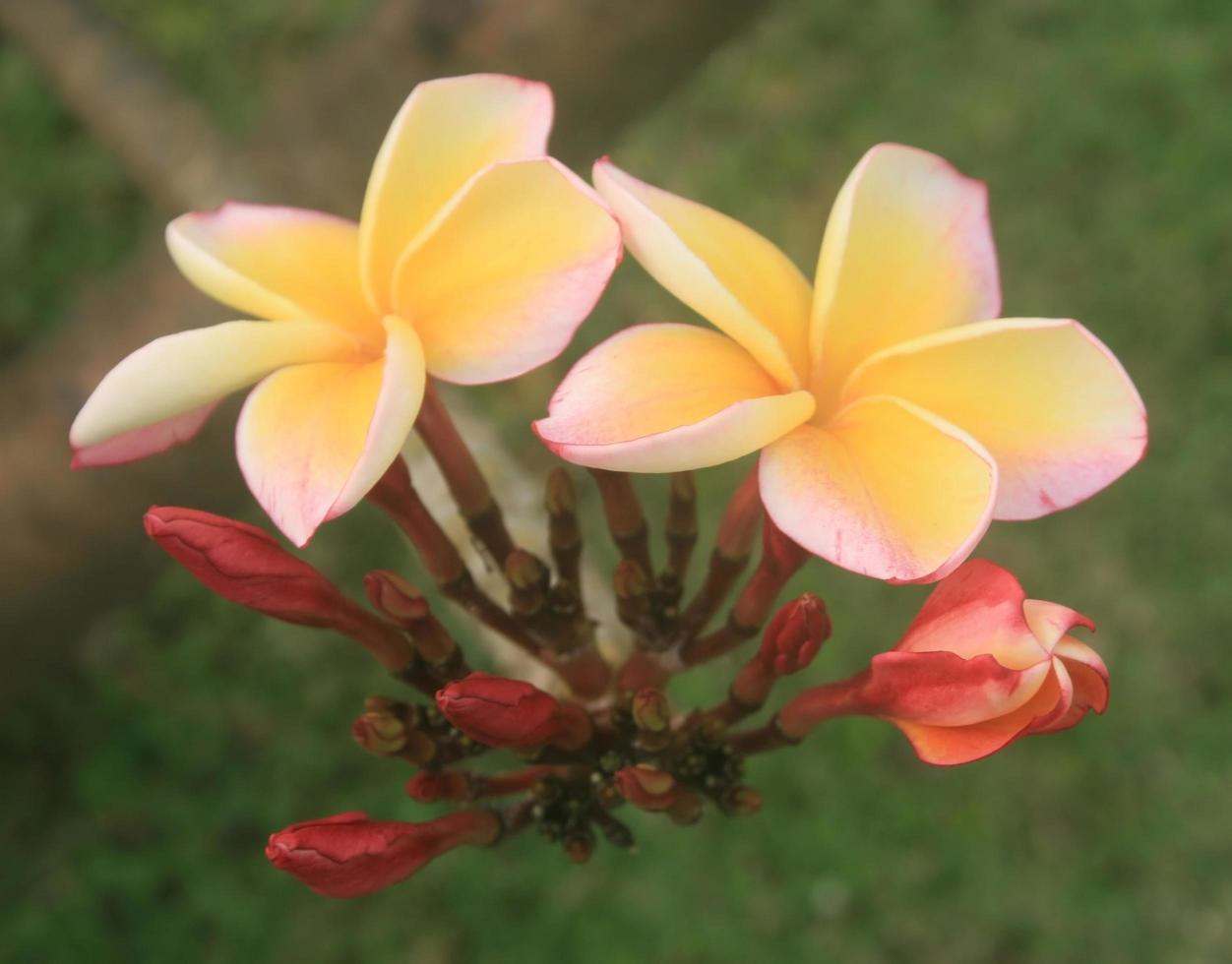 gele en roze frangipani foto