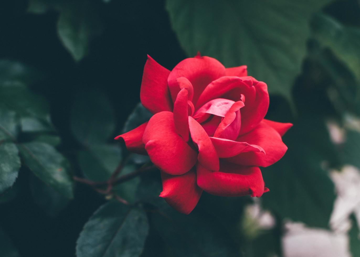 rode roos in de tuin foto