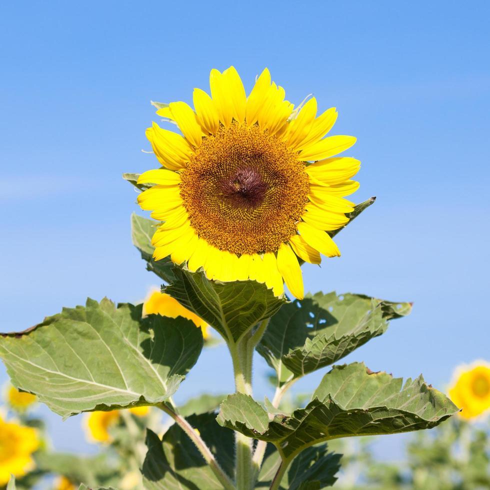 zonnebloem in de zomer foto