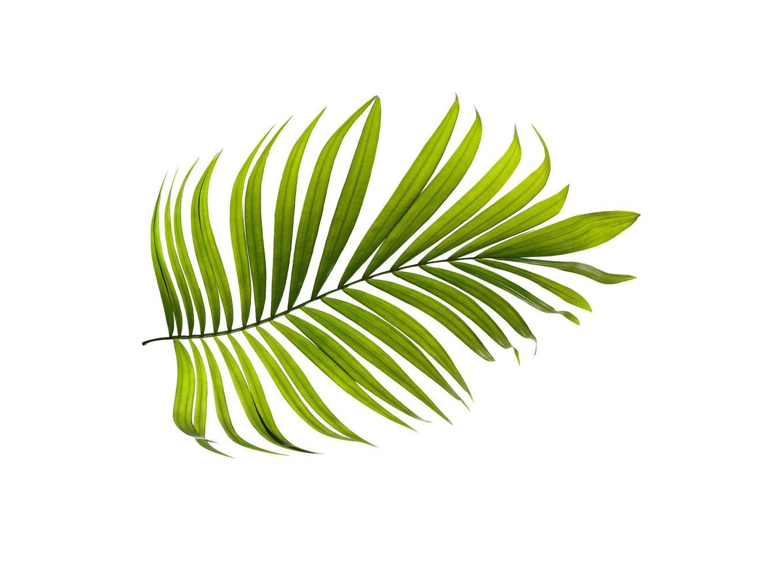 palmboom blad foto