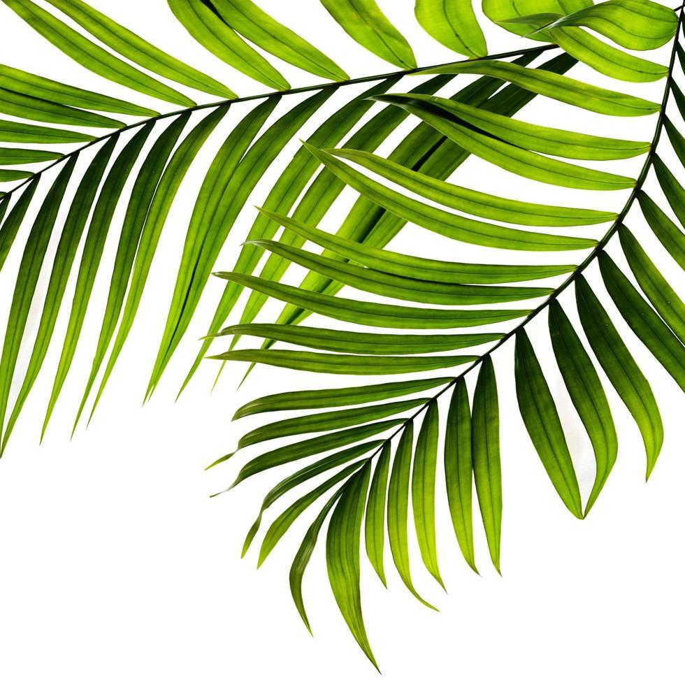 twee palmbladeren op witte achtergrond foto