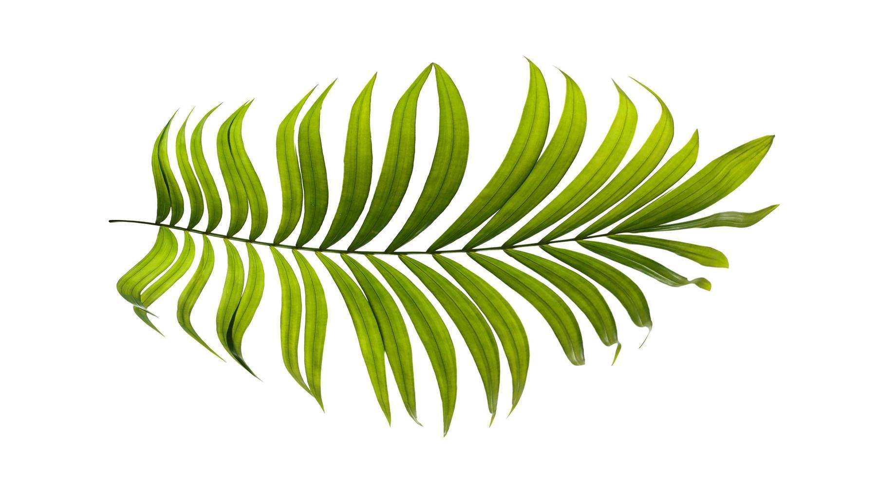 geïsoleerd palmblad op een witte achtergrond foto