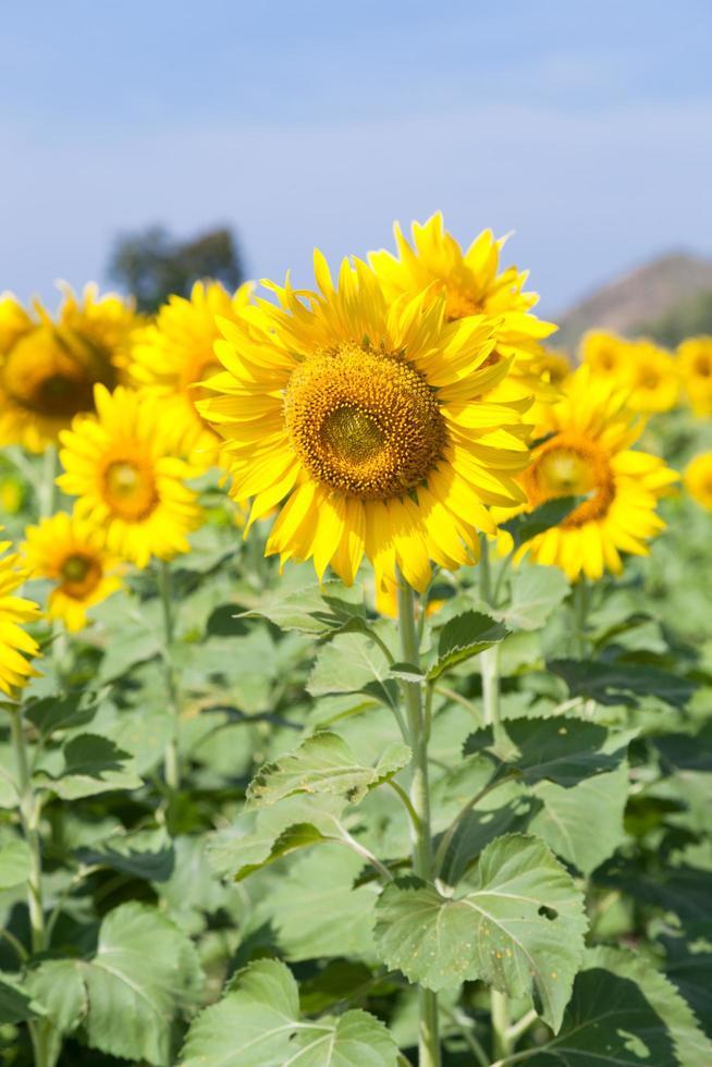 zonnebloemen op een veld foto