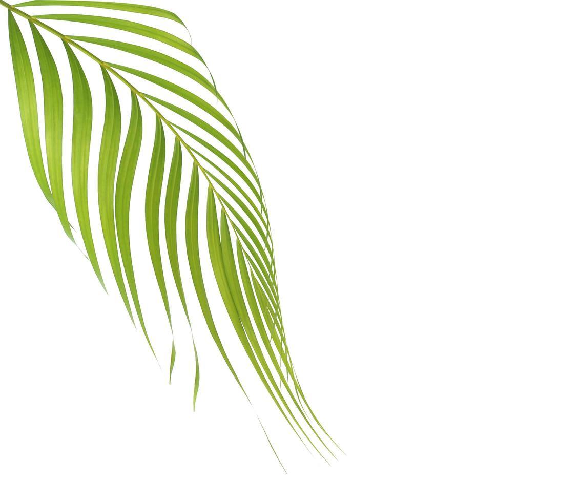 palmblad op wit met kopie ruimte foto