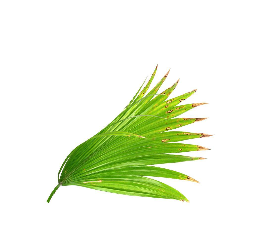 geïsoleerde palmtak met bruine uiteinden foto