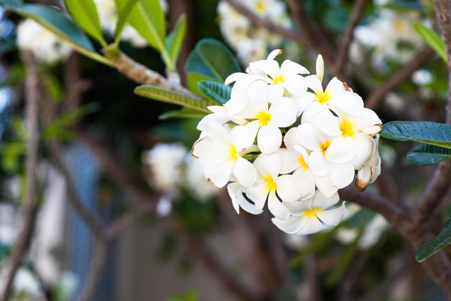 witte bloemen op een boom foto