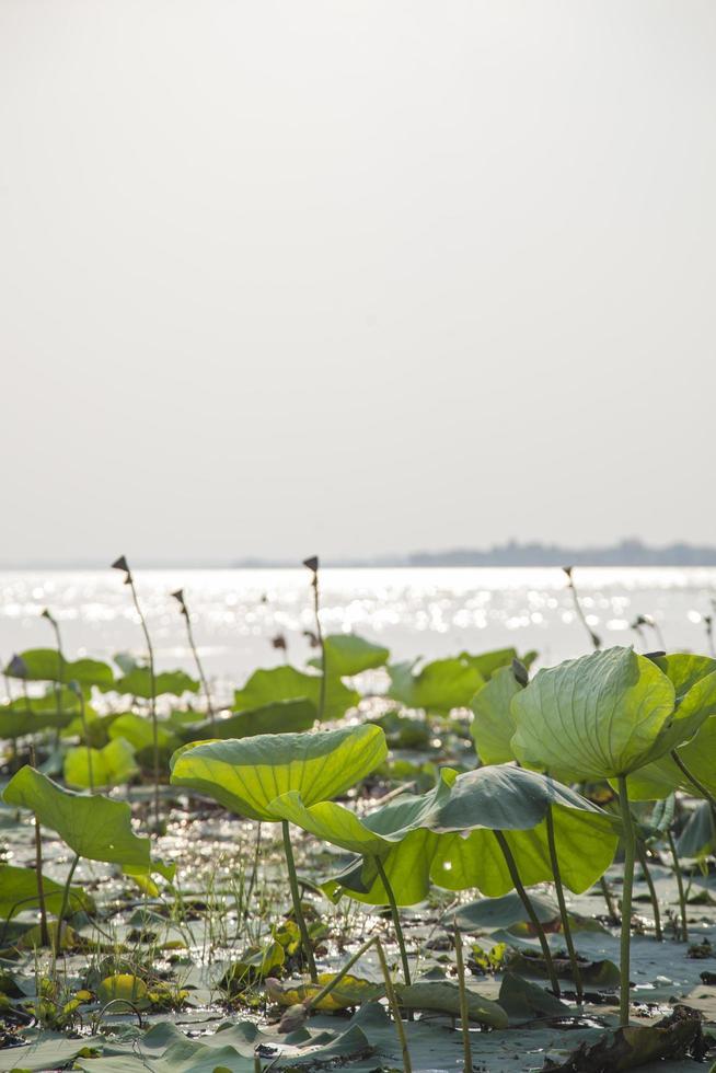 lotusbladeren en lotusbloemen foto