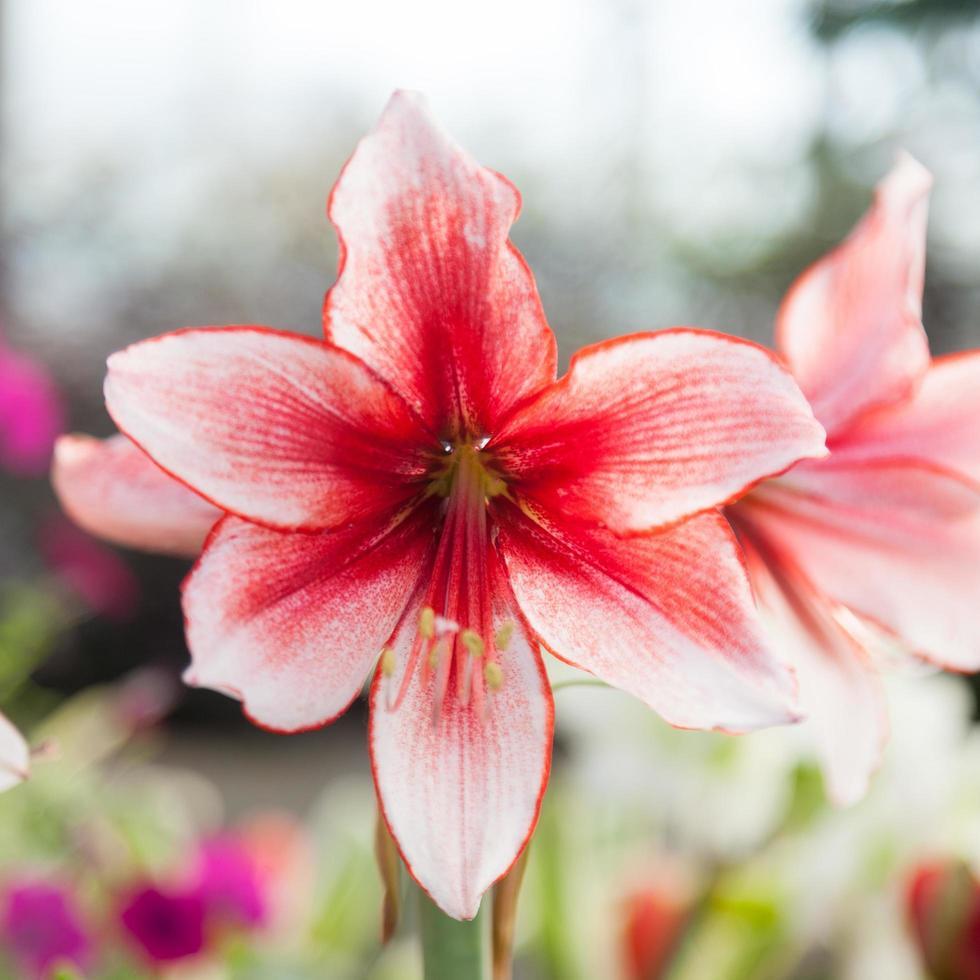 grote witte en rode bloemen foto