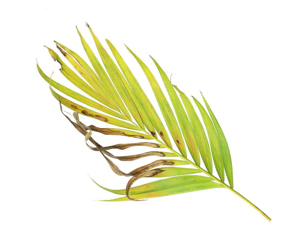tropisch blad met bruine vlekken foto
