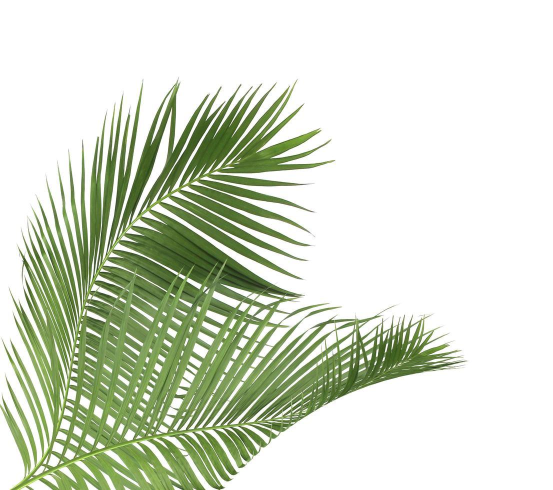 twee kokosblaadjes foto