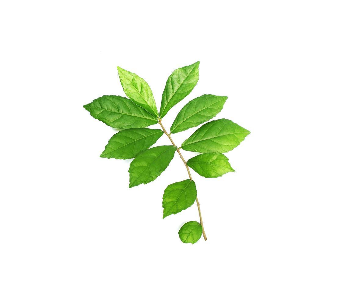 heldergroene bladeren op een tak foto