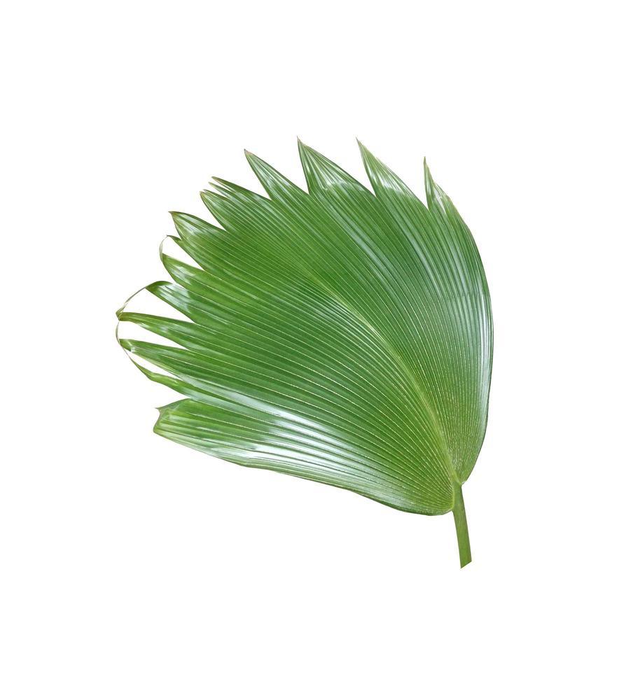 groen waaierblad foto