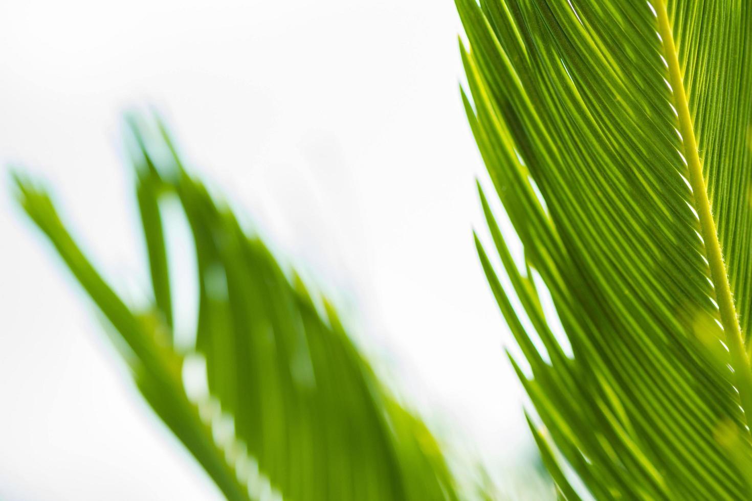 palmbladeren waar licht doorheen komt foto