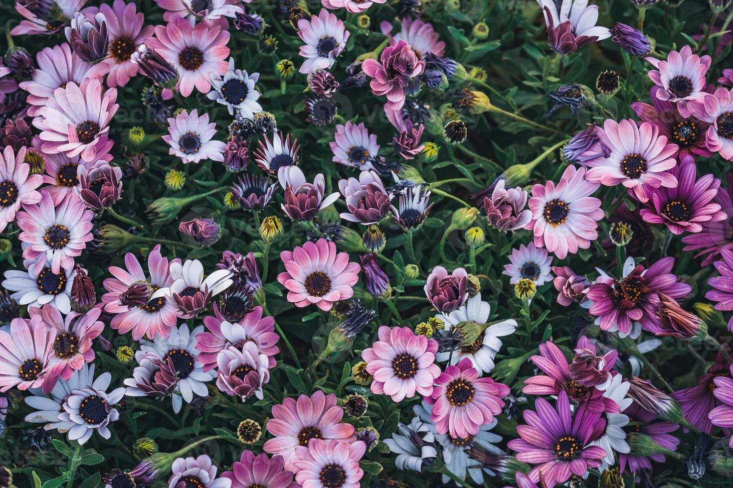 bloemen van Afrikaanse madeliefje foto