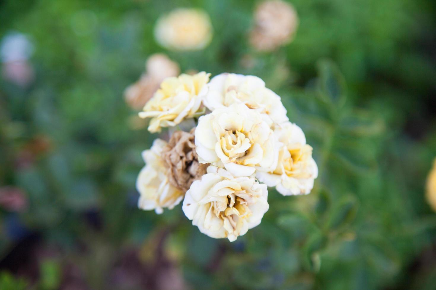 boeket gele rozen foto