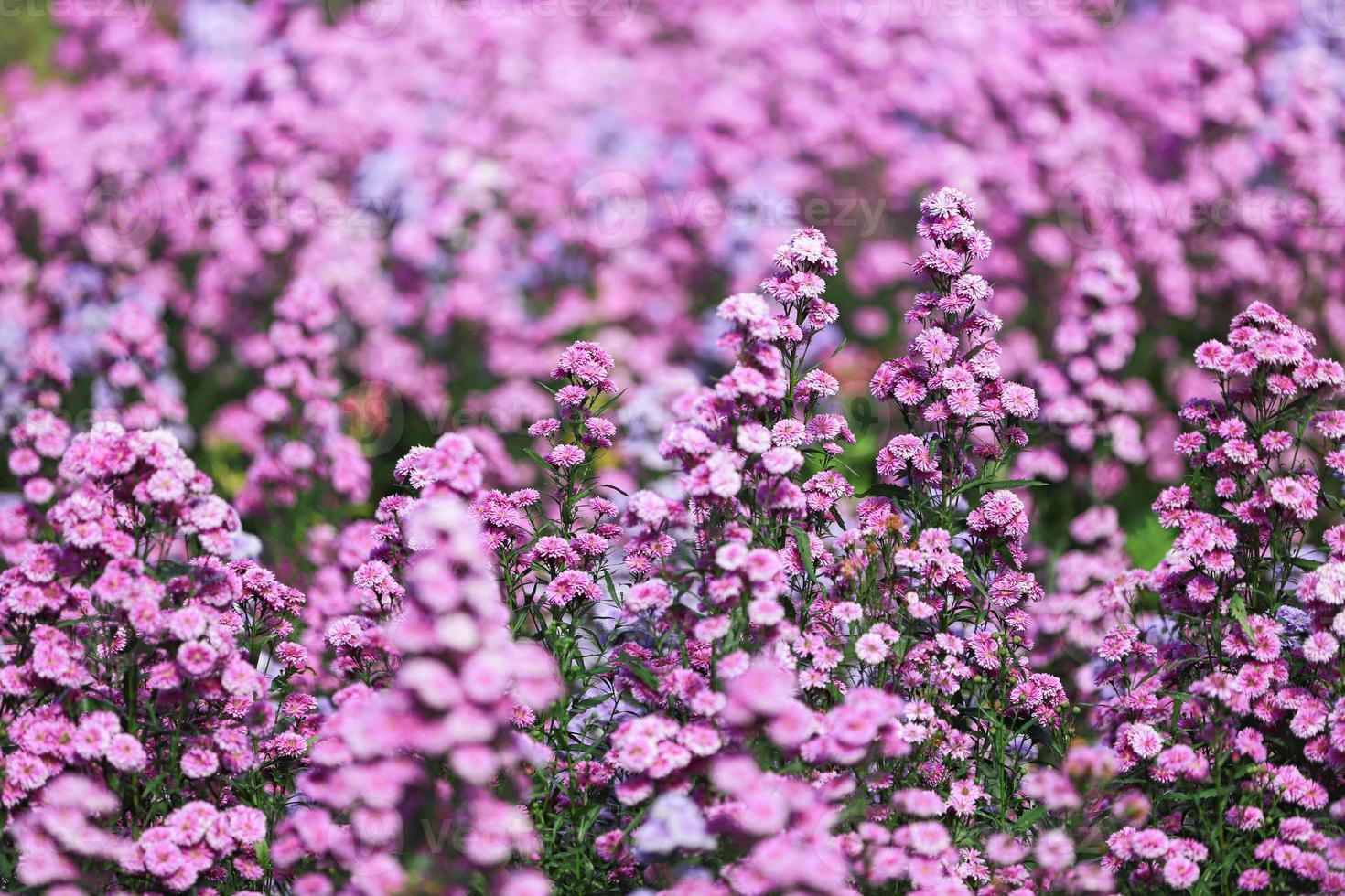 gebied van verbena bloemen foto