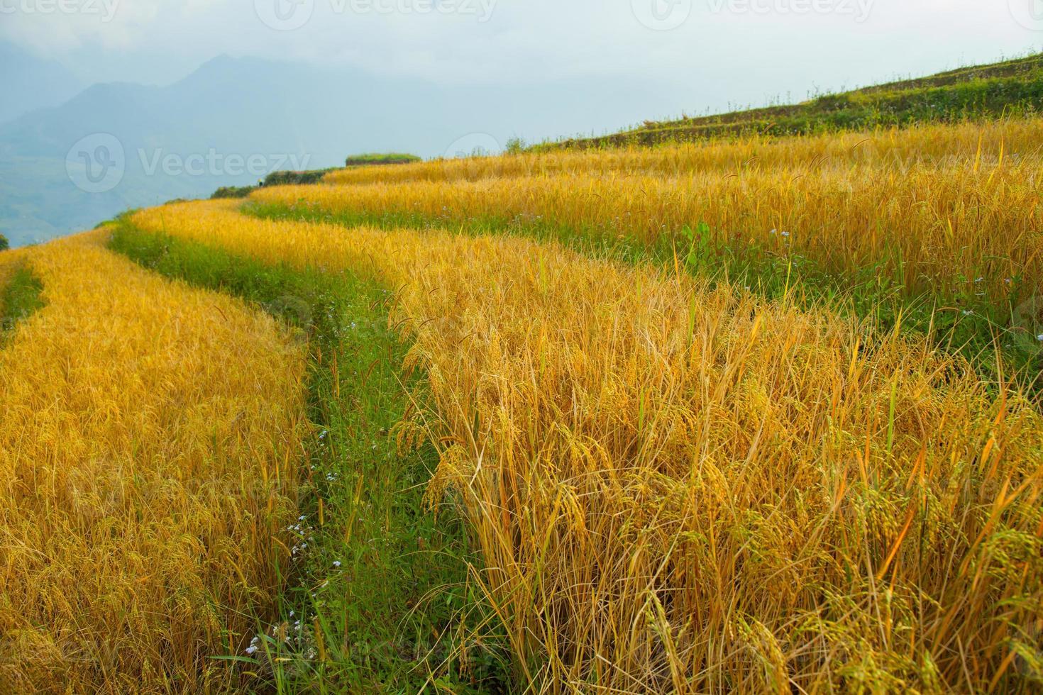 close-up van een rijstveld foto