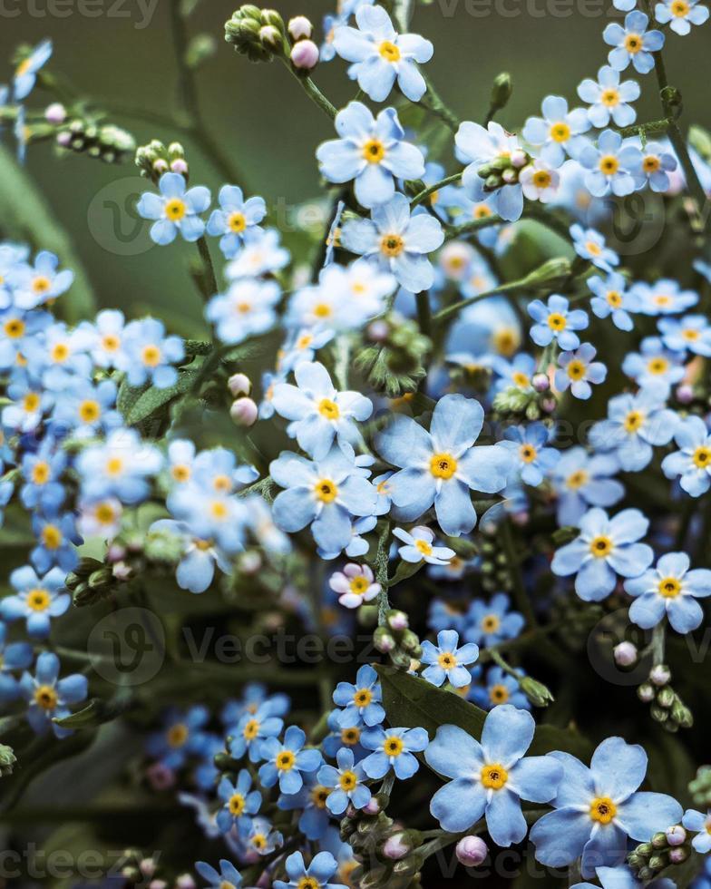 mooi boeket vergeet me niet bloemen foto
