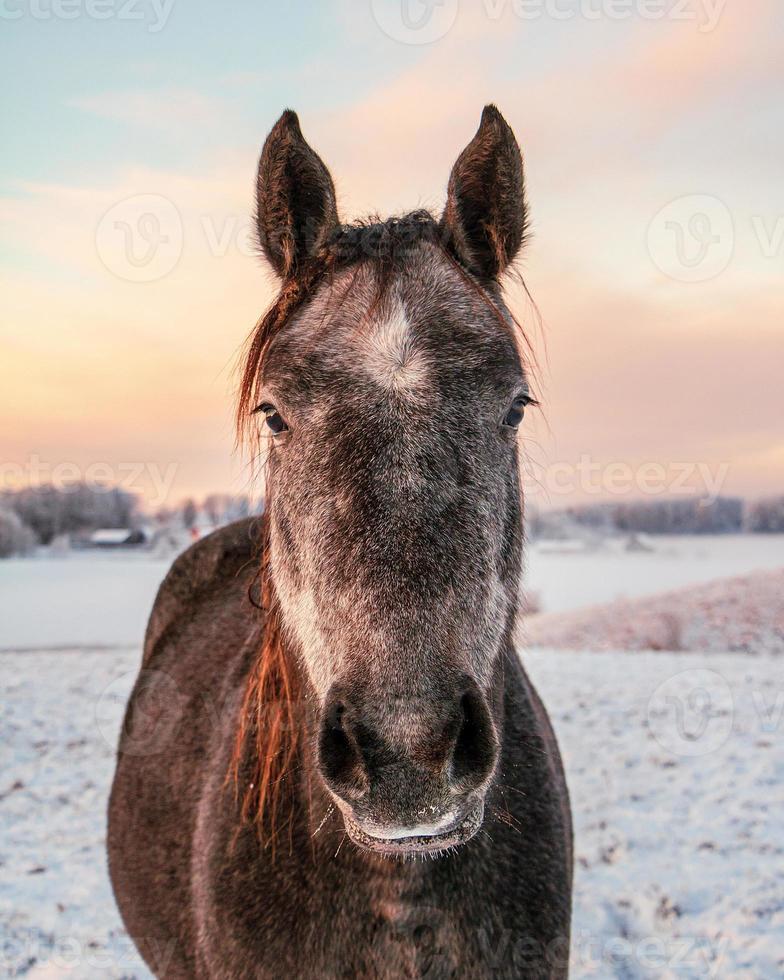 paard staat in een besneeuwd veld in Letland foto