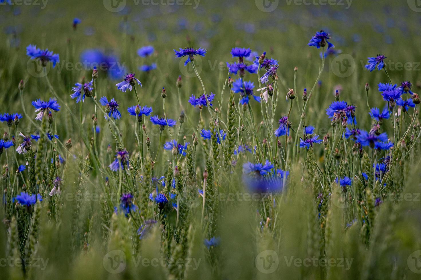 een close up van groen veld met bloeiende korenbloemen foto