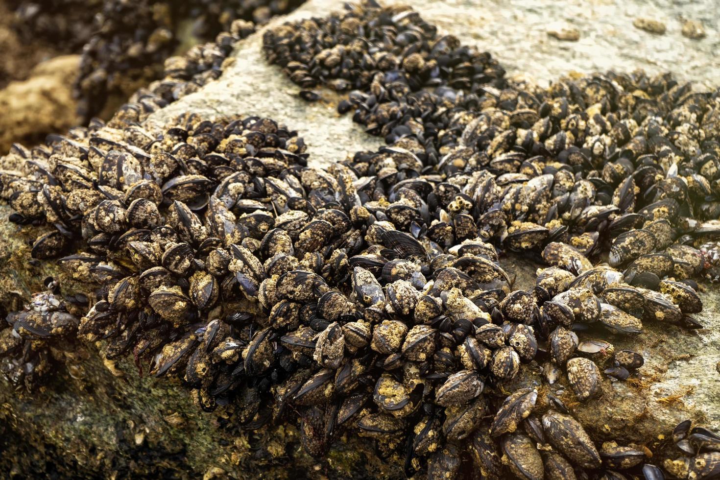 mosselen vastgemaakt aan een rots foto
