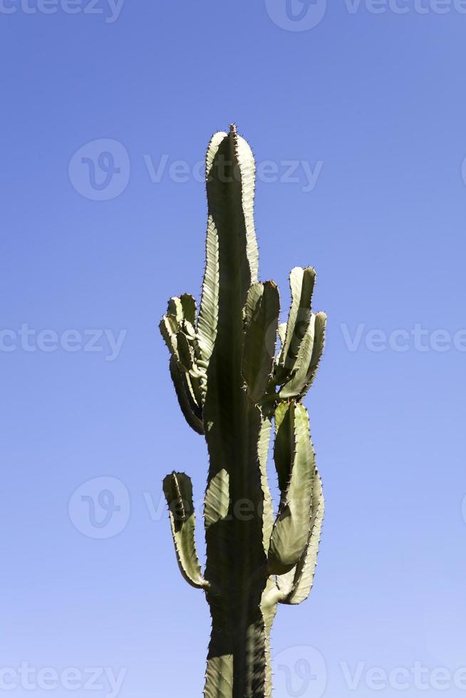 cactus in de woestijn onder de blauwe hemel foto