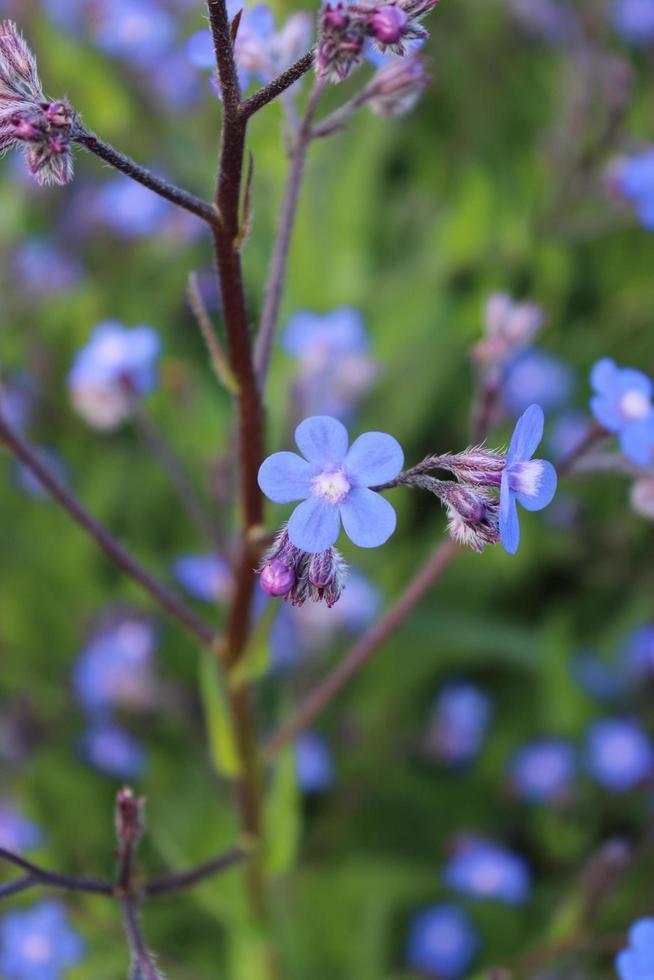 macro close-up van een blauwe Italiaanse alkanet in bloei tijdens de lente foto