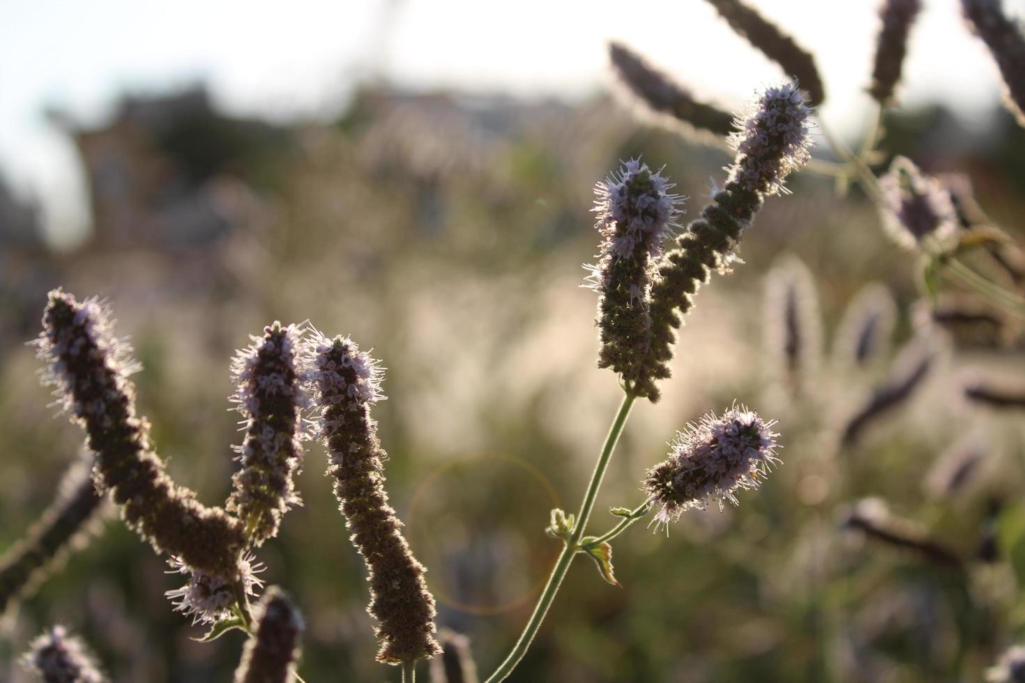 lavendelplant in het voorjaar met macrodetails foto