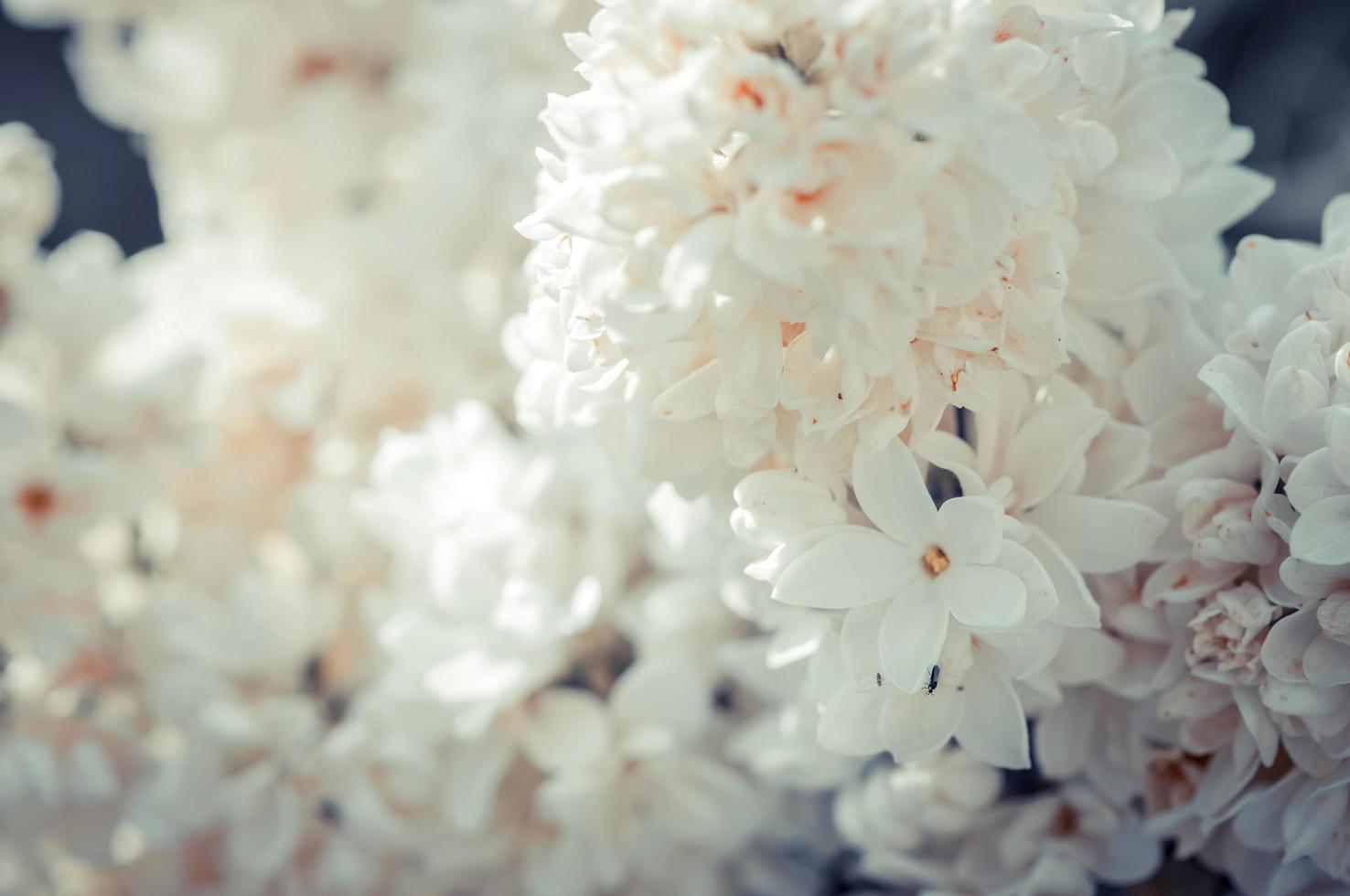 witte lila bloesem, selectieve aandacht foto