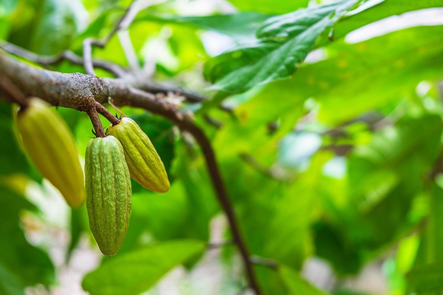cacaovrucht op een tak van de boom foto