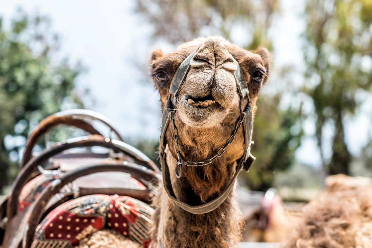 een nieuwsgierige kameel foto