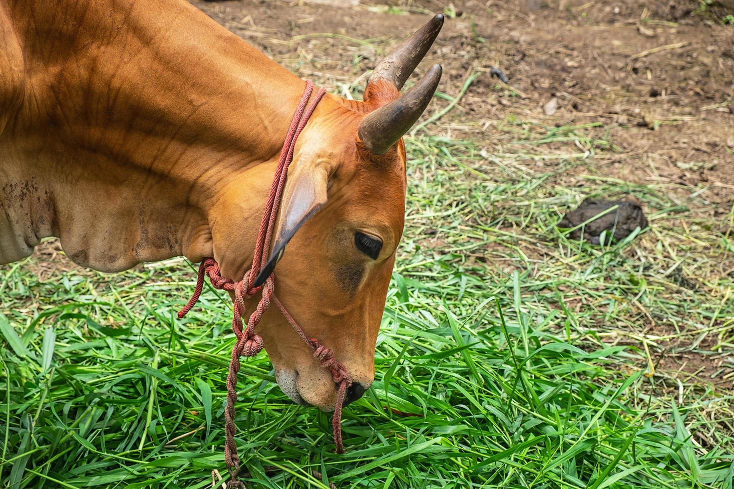 kant portret van een bruine koe grazen op een boerderij foto
