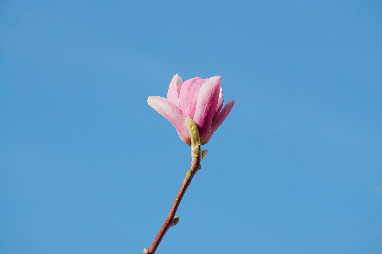 een mooie roze bloem in de lente foto