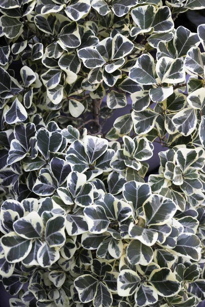 klimop groene planten foto