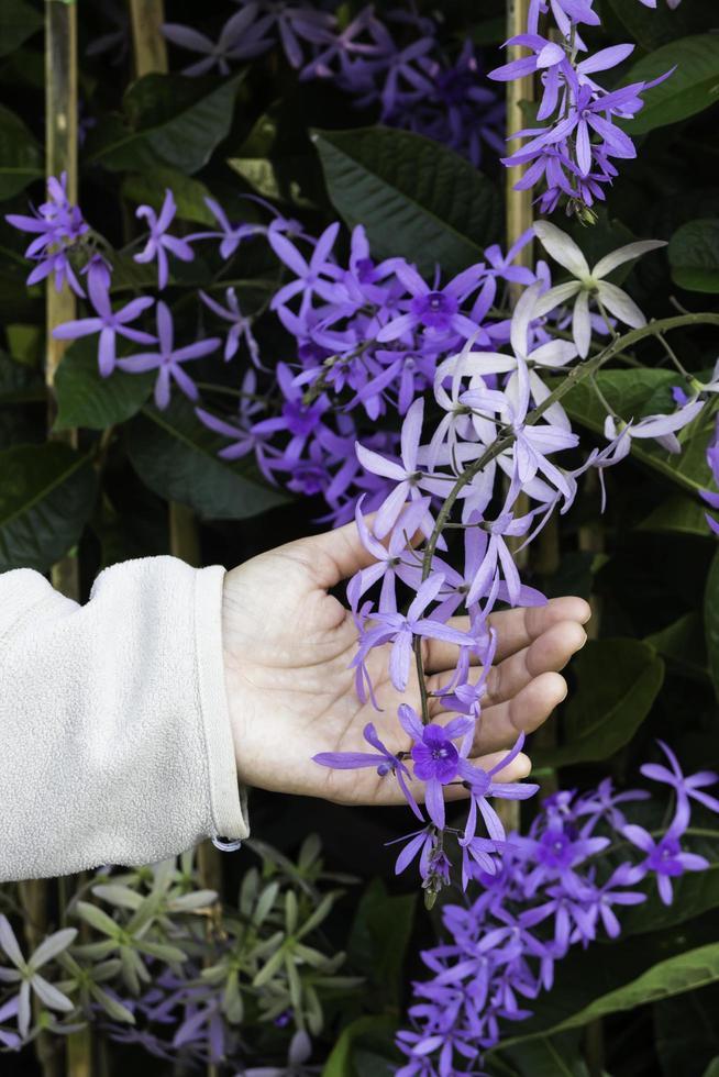 hand op violette bloemen foto