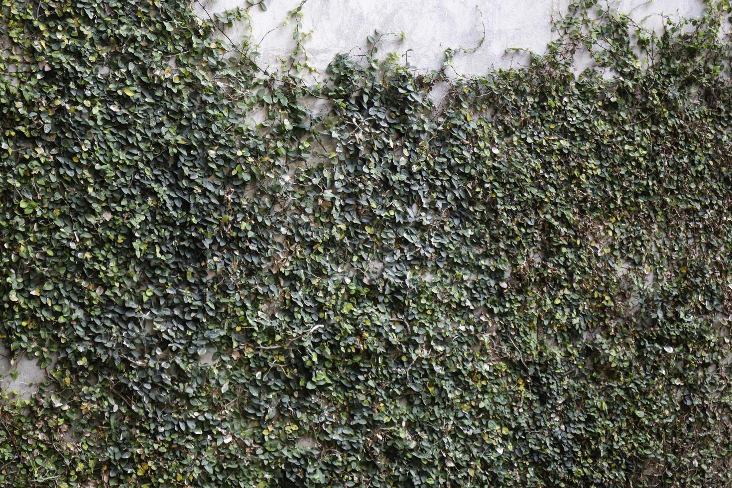 klimop die tegen een muur opgroeit foto