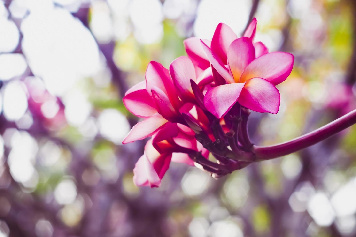 roze hawaiibloem foto