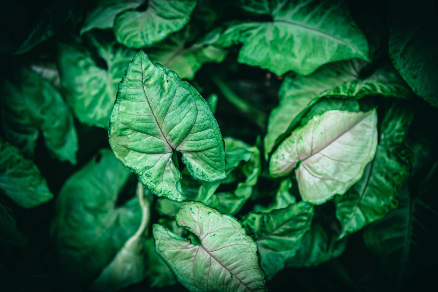 syngonium podophyllum groene bladeren foto