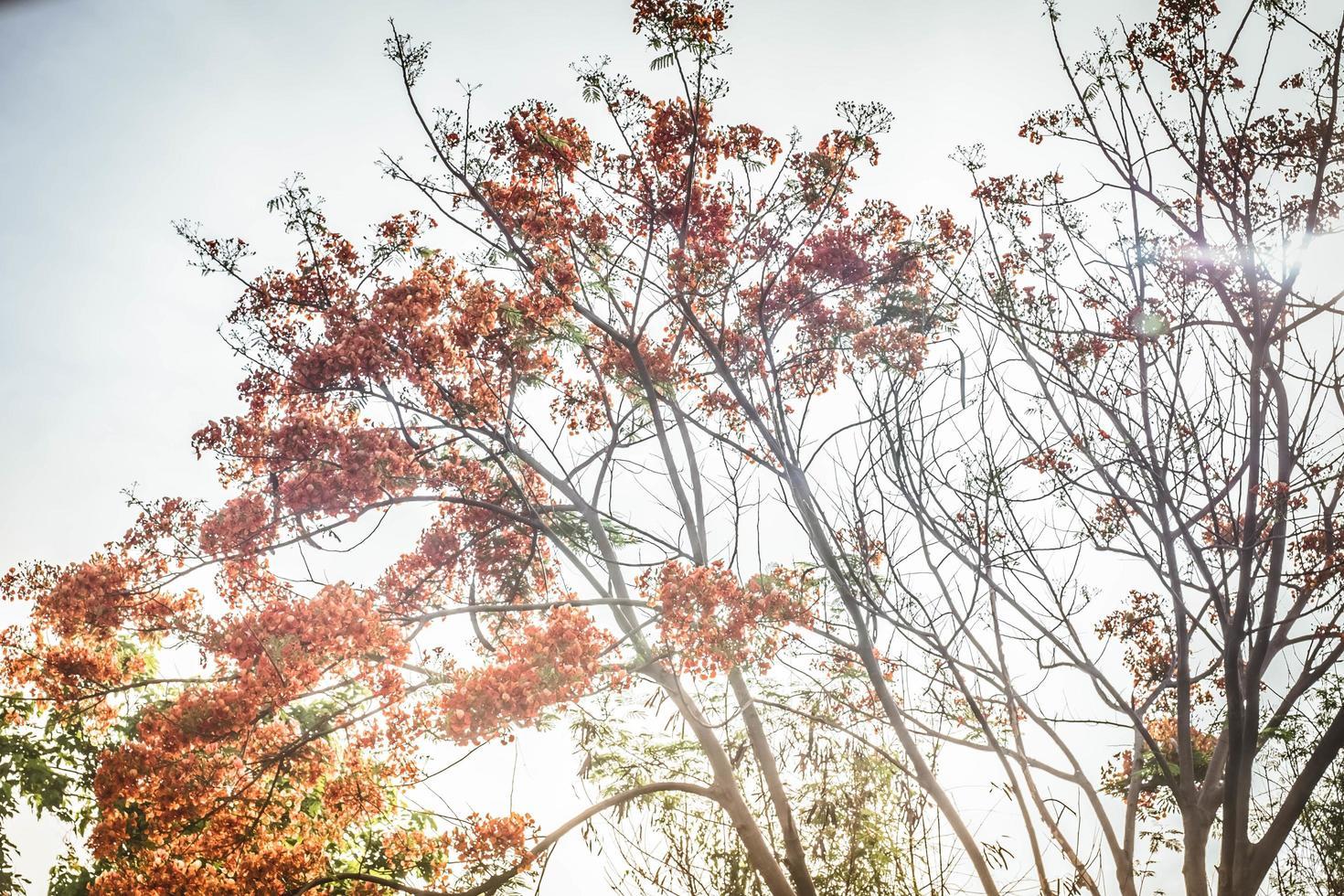 zonlicht schijnt door vlammenboom, koninklijke poinciana foto
