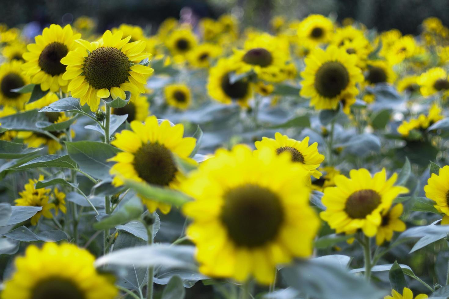 close-up van zonnebloem natuurlijke achtergrond foto