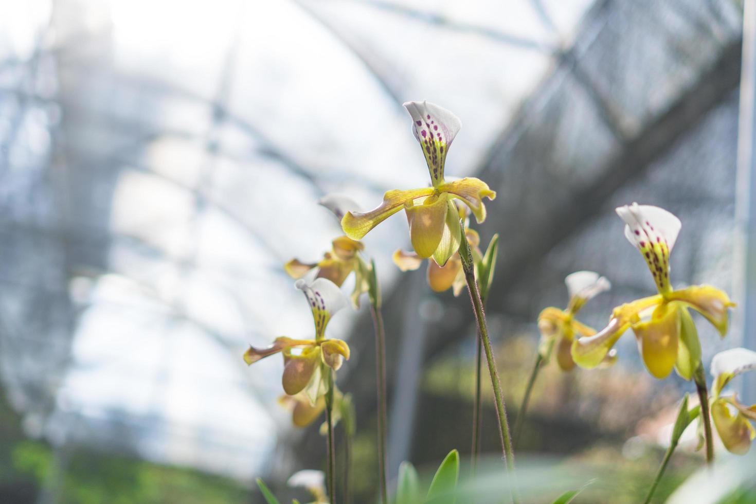 paphiopedilum orchideebloemen foto