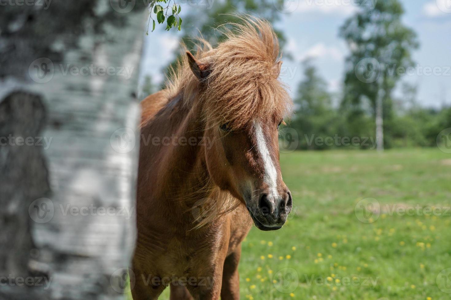 IJslands paard dat van achter een boom gluurt foto