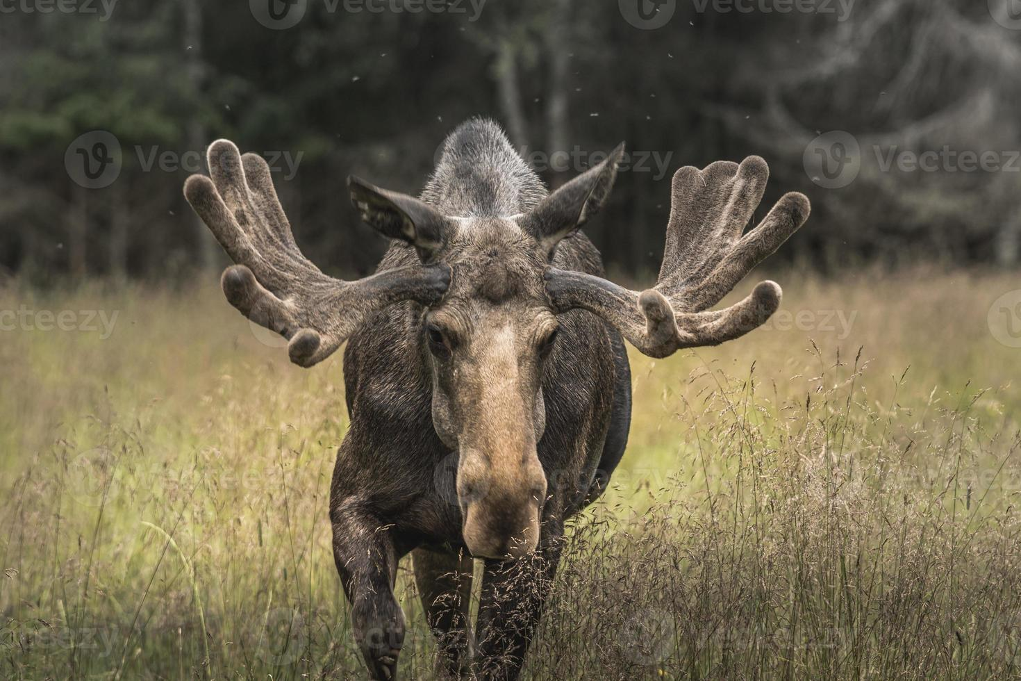 zeer grote mannelijke elandbok die naar de camera loopt foto