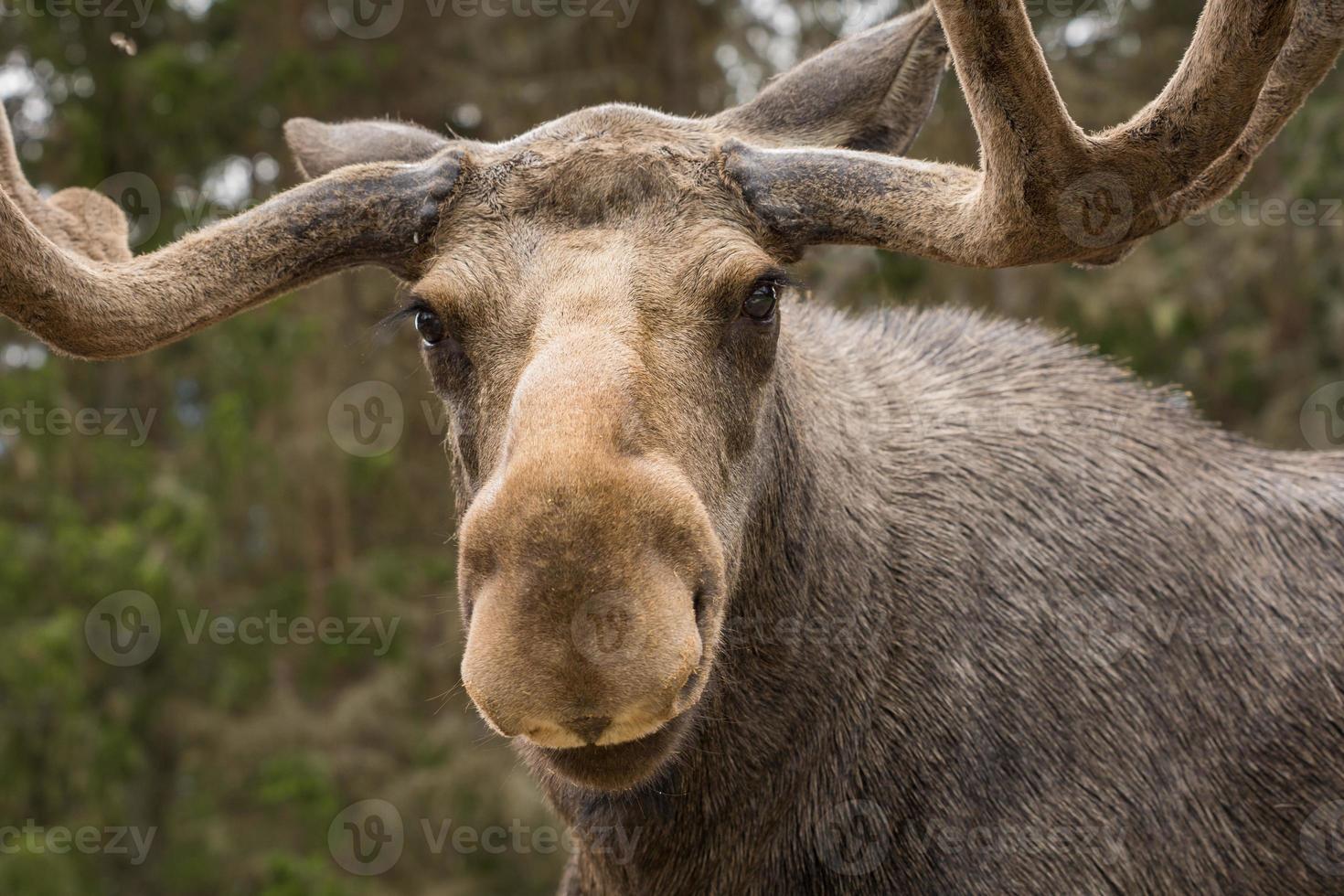 close-up van een grote mannelijke eland die de camera onderzoekt foto